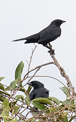 cuban blackbirds