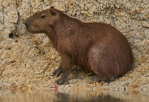 capybara at side of river