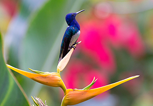 white-necked jacobin on Strelitzia, Pico Bonito