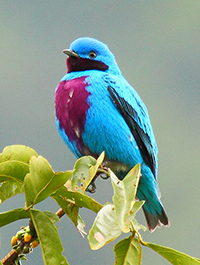 lovely cotinga at the Lodge at Pico Bonito. Photo by James Adams