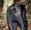 black sulawesi macaque